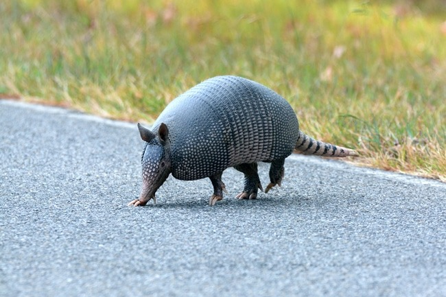 Armadillo in the road